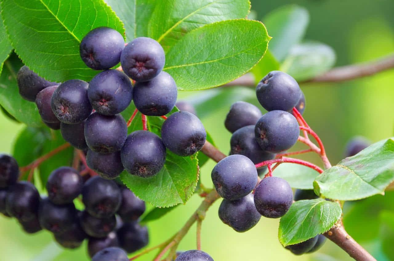 krzew z owocami aronii